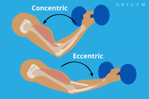 pendlay row concentric vs eccentric muscle movement