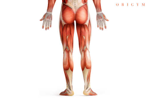 box squat muscles worked graphic