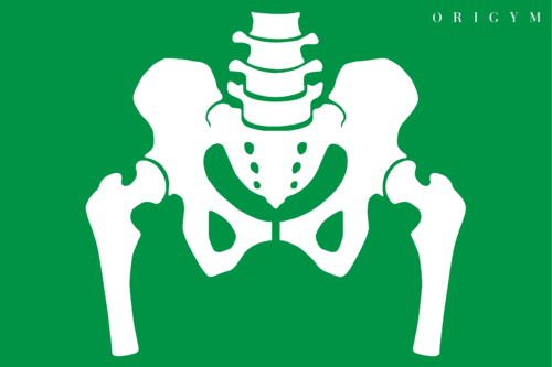 graphic of a pelvis